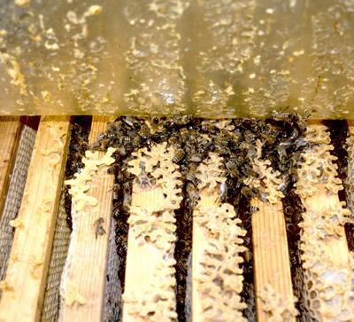 Blick unter die Folie. Vier Wabengassen sind eng besetzt. Etwa 4000 Bienen?