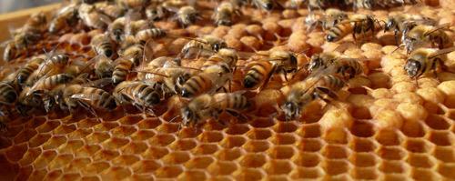 Die Buckfastbiene ist auffällig gelb bzw. rot geringelt.