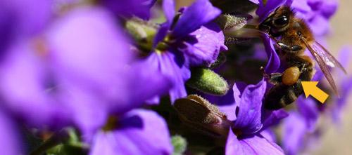 Biene mit Pollenhöschen.