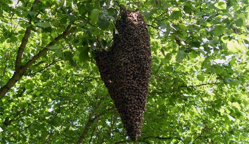 Bienenschwarm an einem Ast in typischer Traubenform.