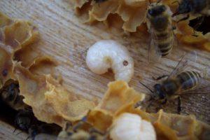 Milben in Drohnenbrut
